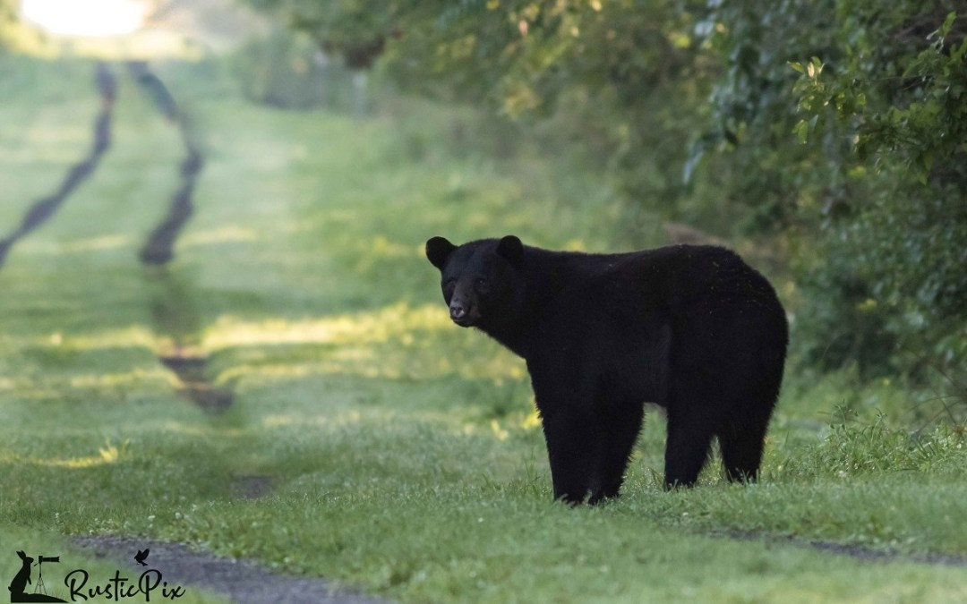 bear on the trail