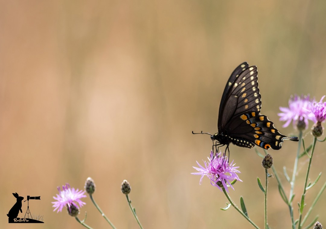 black swallowtail on pink knapweed