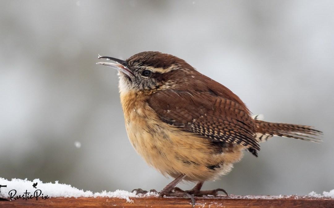 Wren backyard bird