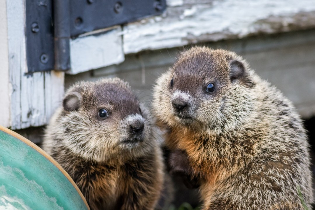 young groundhog pair near shed