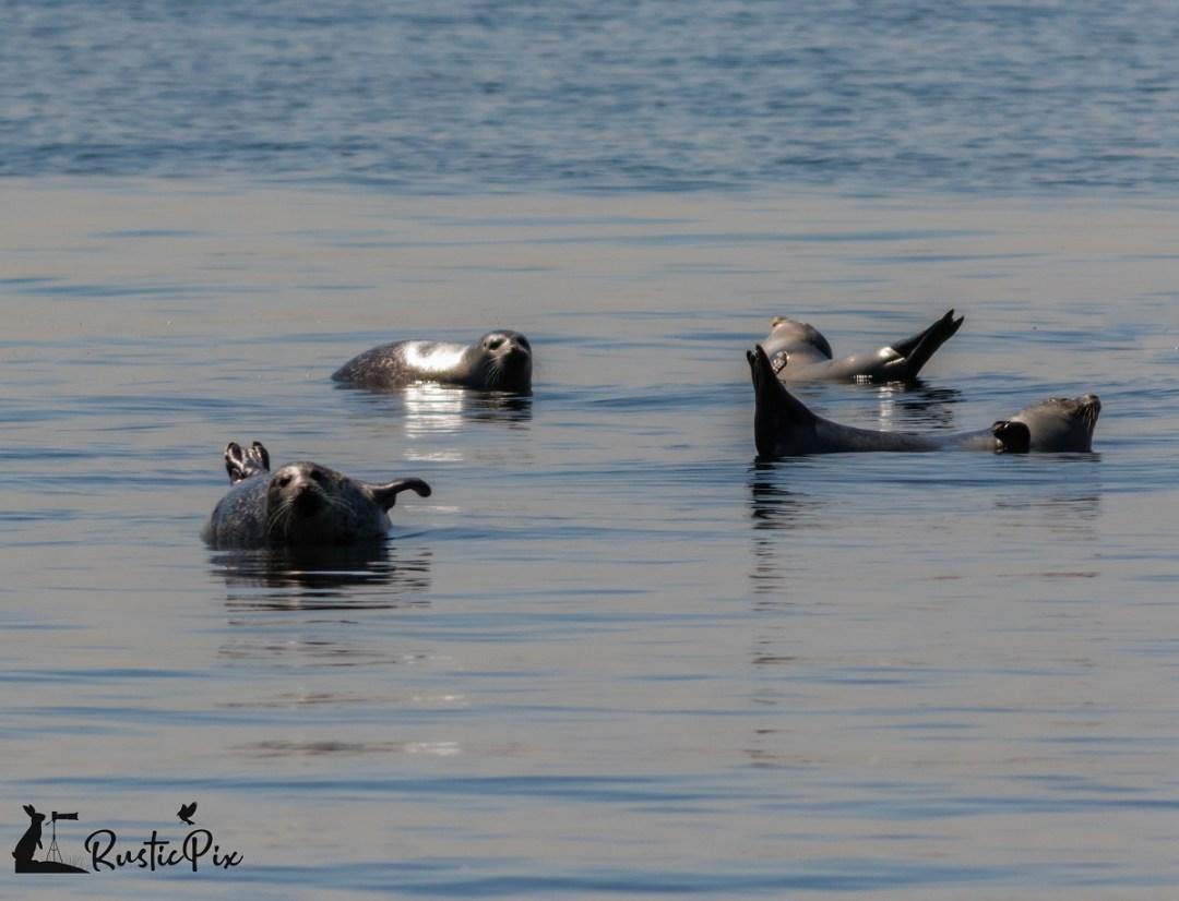 harbor-seals-in-NJ