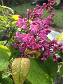 lilac dew