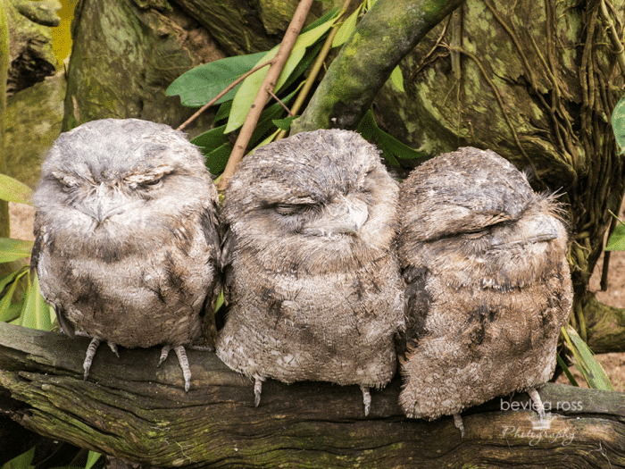 3 Tawny Frog Mouths