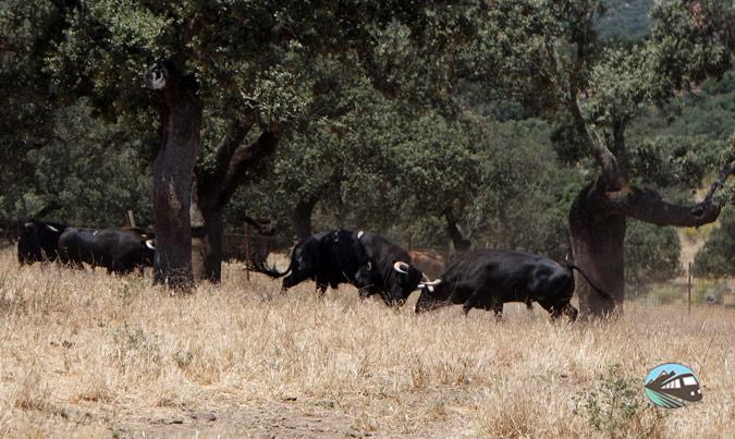 Safari de toros bravos