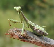 Pray Mantis In All Of Its Glory