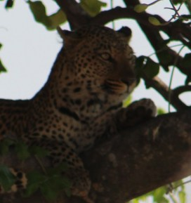 A leopard in a sausage tree