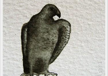 Falcon – Faucon