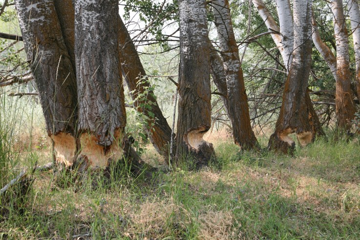 Birch Trees as Meals for Beavers