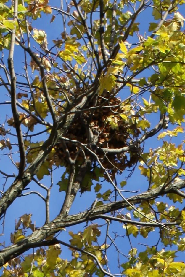 A squirrel nest, closeup.