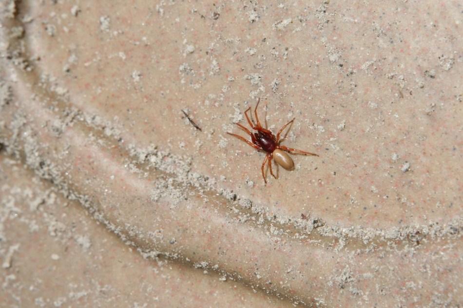 Ohio Spider