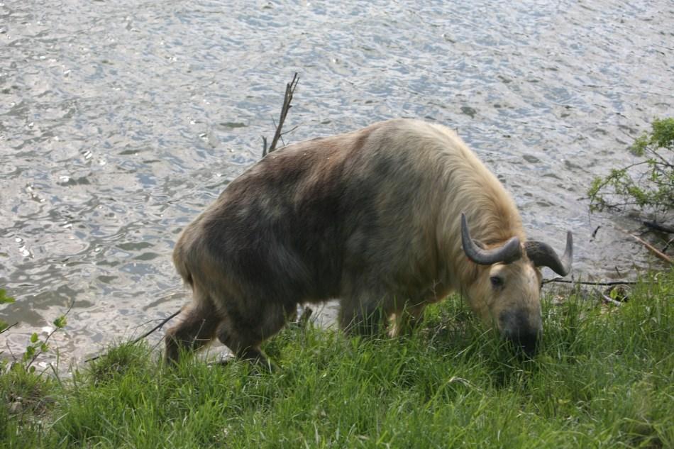 Sichuan Takin