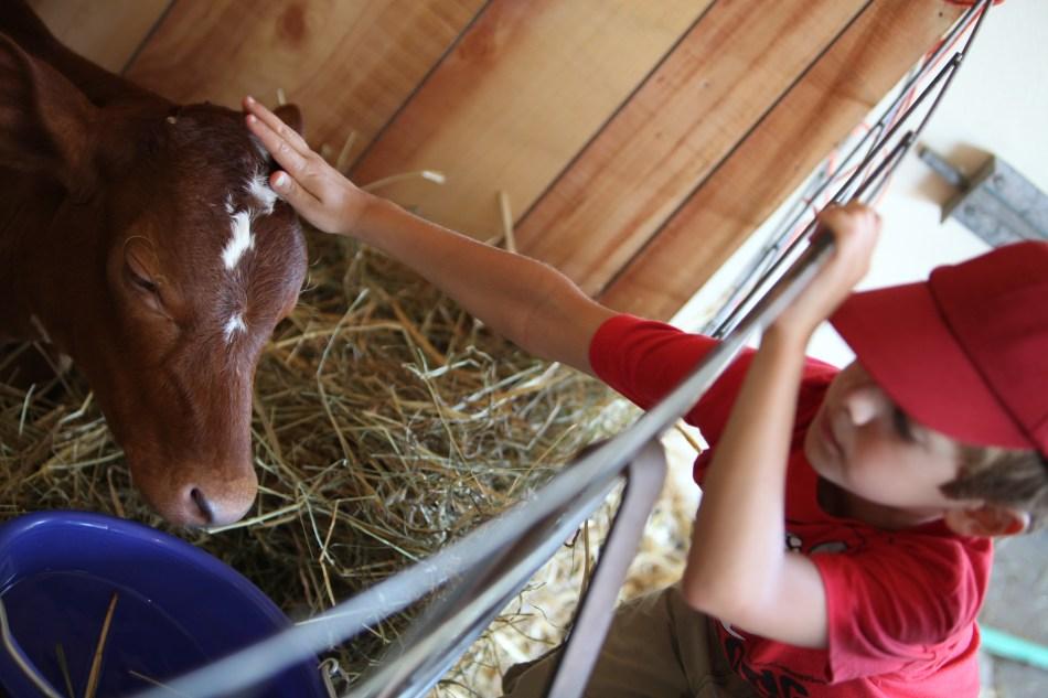 Patting the Calf