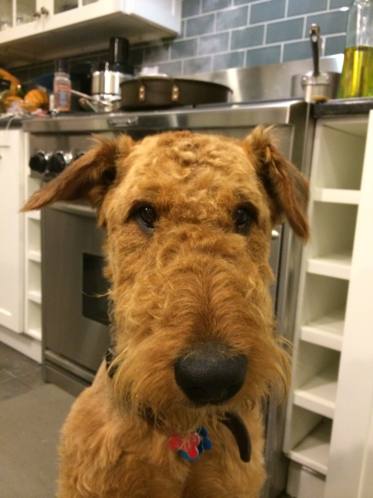 Henry the Airedale in the Kitchen