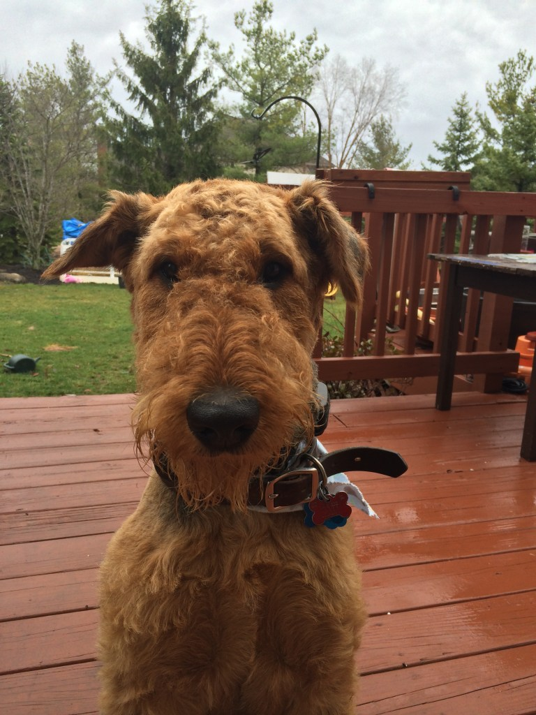Henry the Airedale Terrier