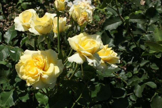 brooklyn botanic garden rose