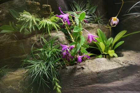 Phipps orchid