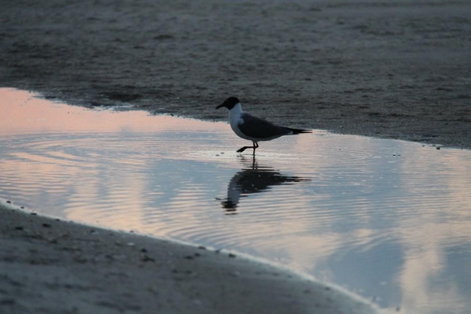 sunrise St George gull