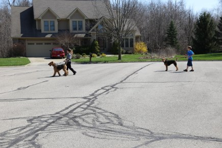 walking the Airedales