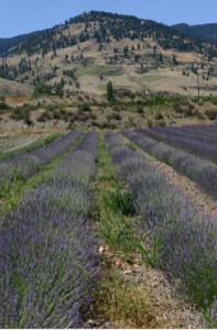 Lavender in British Columbia