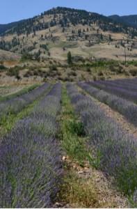 Lavender in British Columbia