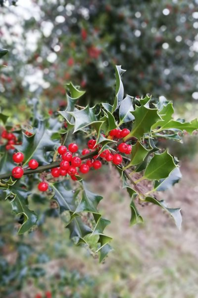 The Folklore of Christmas Holly