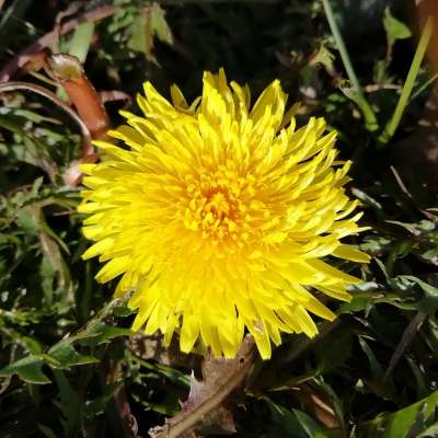 Dandelion – a Flower of Sustenance