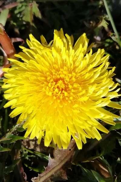 Dandelion Flower and leaves