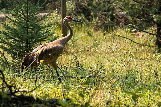 Sandhill Crane near Ruth Lake Lodge Resort