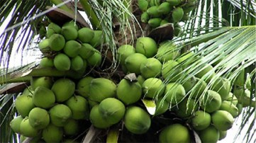 Ben-Tre-coconut-trees