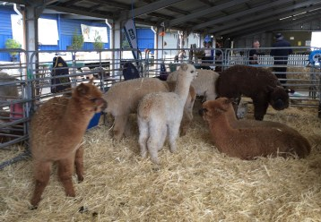RHS alpaca