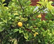 Jan lemons