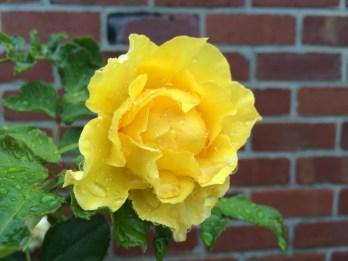 Jan rose 1