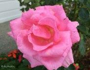 April rose 3