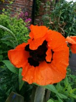 Brightest of poppies