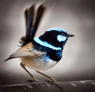 Superb Blue Fairy Wren Copyright Ruth Valasini