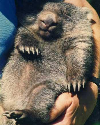 Tired Wombat