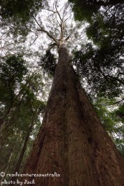 Bird Tree. Largest tree by volume in NSW