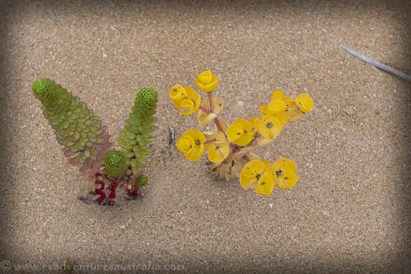 Flowers in the dunes