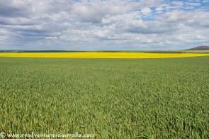 Grain and Canola near Kimba