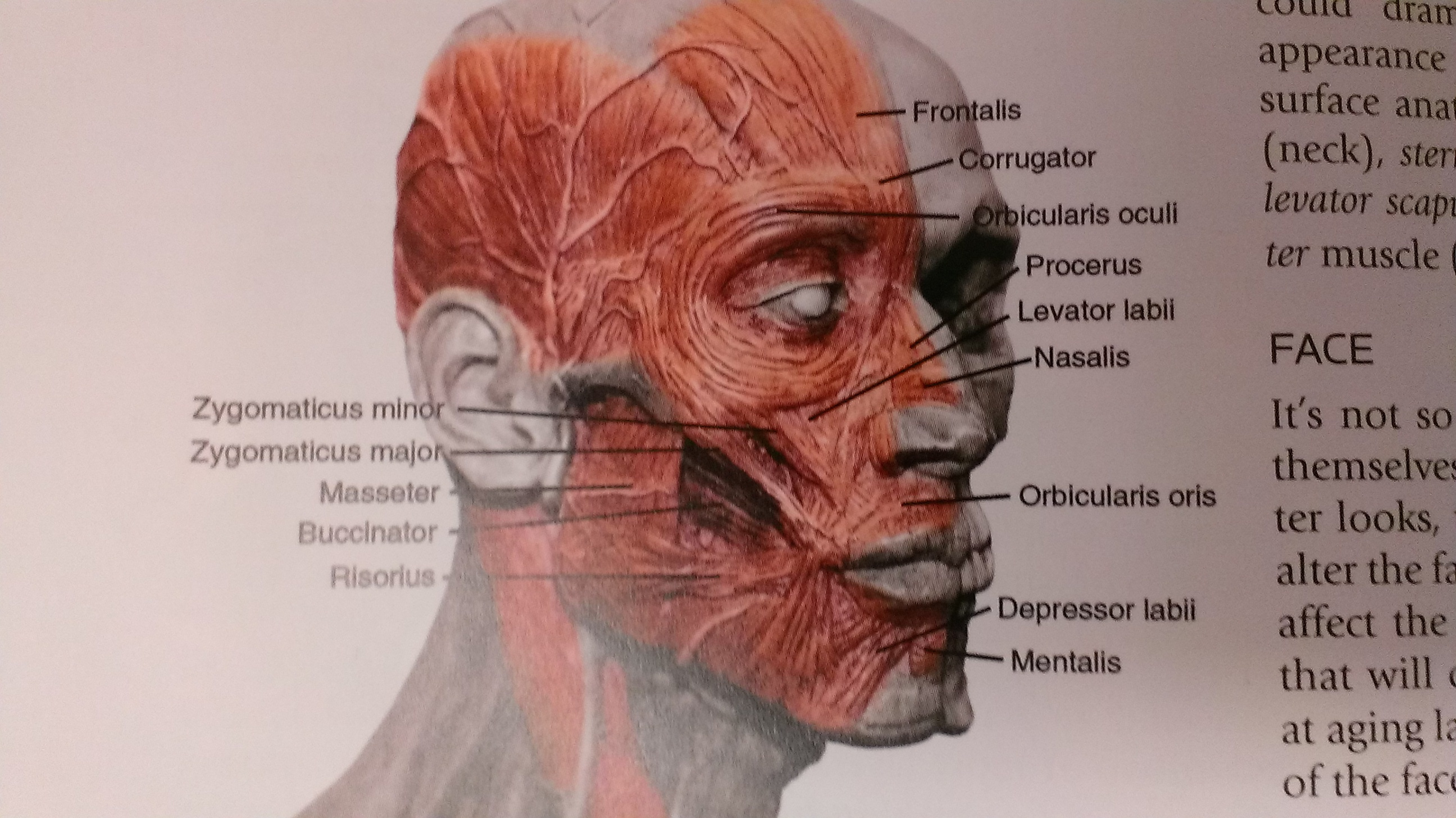 Face Face Face Muscles Lines Grooves And Wrinkles