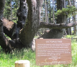 Remote viewing target 200512741 is The Octopus Tree, Cape Meares State Park, Oregon