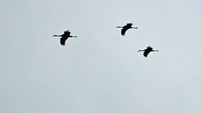 Sandhill cranes in Kentucky