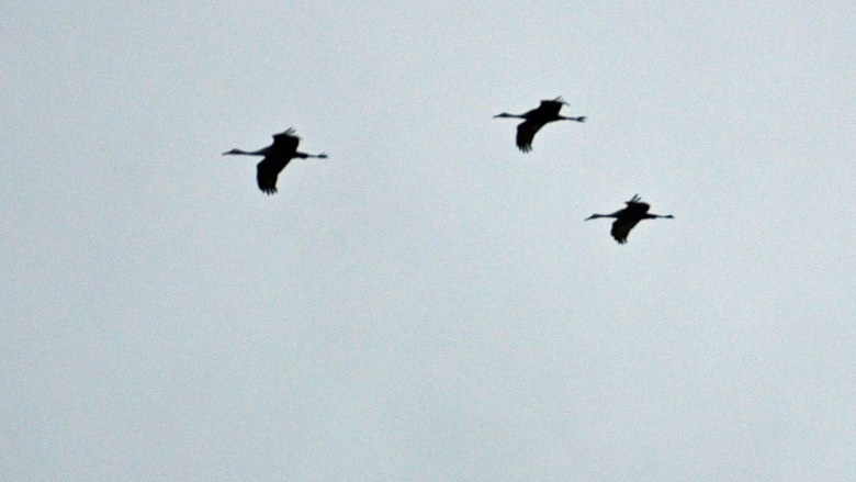 Sandhill cranes in Kentucky