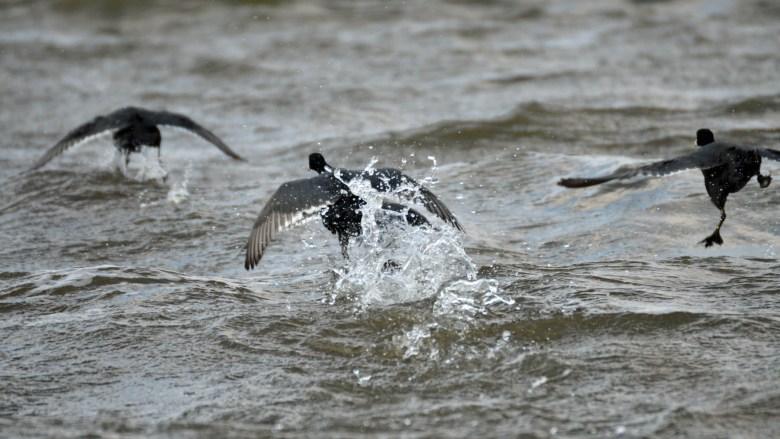 American coots soaring at Guntersville Lake.
