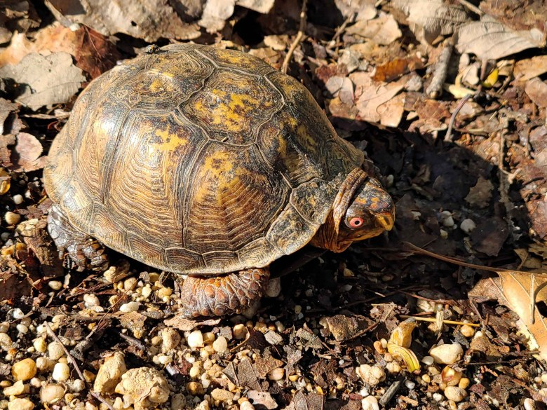 A Box turtle crossing the trail.