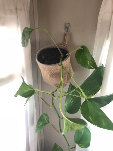 Plant hung with Command hook in RV