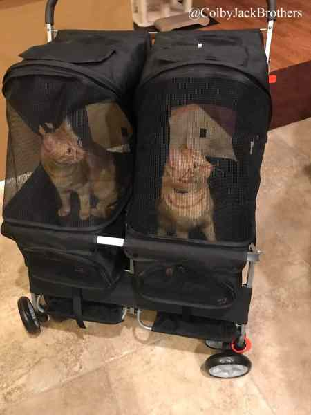 Twin kitties in a double cat stroller