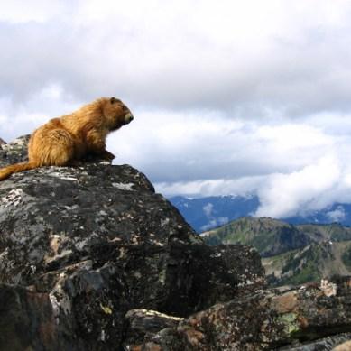 Olympic National Park Seeks Volunteers to Survey Marmots