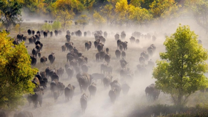 See America   The Great Buffalo Roundup