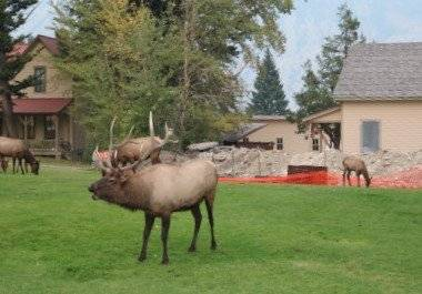 Picture of Bull Elk at Mammoth Village in Yellowstone National Park